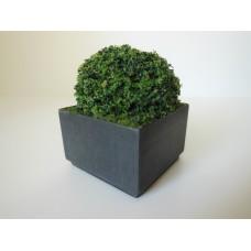 Shrub Plant in Short Square Pot